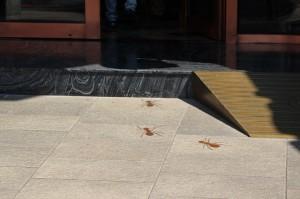 Dawncake ants