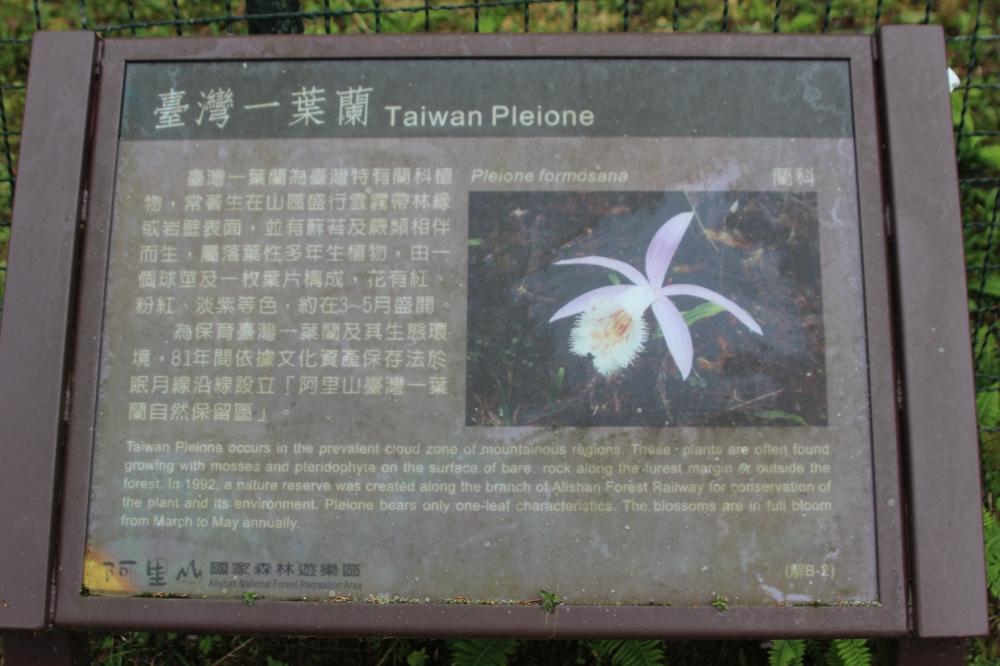 Pleione Orchid information