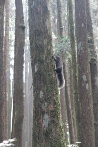 Squirrel in Alishan, Taiwan