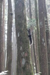 Squirrel in Alishan, Taiwan
