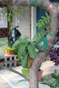 orchid on tree in Kaohsiung