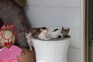 Cute cats on Orchid Island