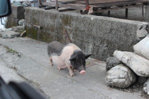 Pig on Lanyu
