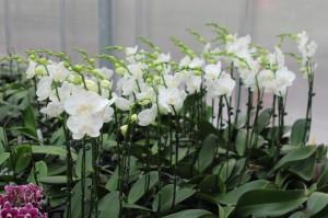 Phalaenopsis related to Phal Amabilis