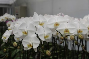 Orchid for the Japanese market