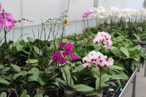 Blooming Orchids at Dachi Orchids