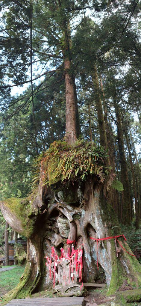 interesting tree in Alishan