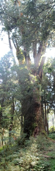 large tree in Alishan