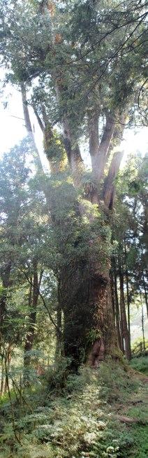 large tree in Alishan