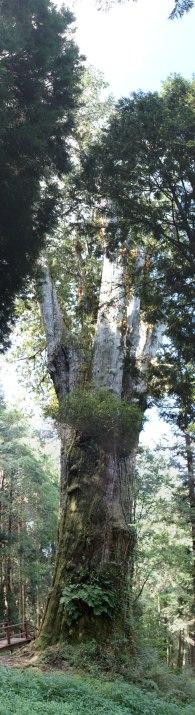 giant tree in Alishan