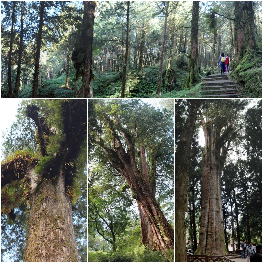 trees in Alishan